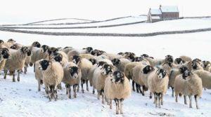 Addicted-to-sheep